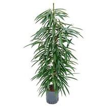 Hydroplant Ficus alii