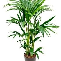 Hydroplant Kentia (howea) forsteriana