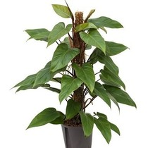 Hydroplant Philodendron red emerald