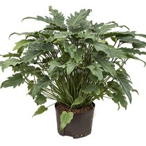 Hydroplant Philodendron xanadu