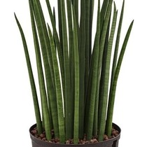 Hydroplant Sansevieria spikes