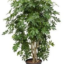 Hydroplant Schefflera arboricola