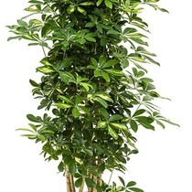 Hydroplant Schefflera gold capella