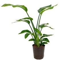 Hydroplant Strelitzia nicolai
