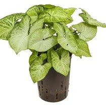 Hydroplant Syngonium white butterfly