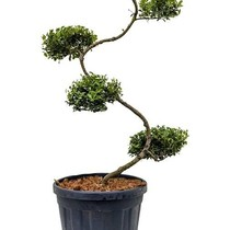 Ilex Green Hedge Bonsai