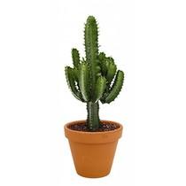Euphorbia in Terra Cotta pot