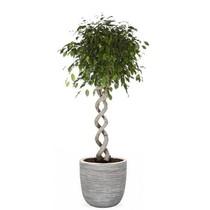 Capi Ficus Benjamina Dubbel Spiraal in capi pot