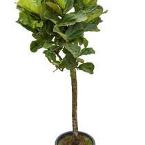 Ficus lyrata Multi stam