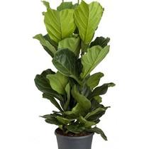 Ficus lyrata XL