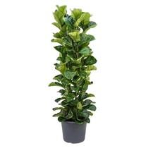 Ficus Lyrata Bambino XL