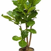 Ficus Lyrata Vertakt L
