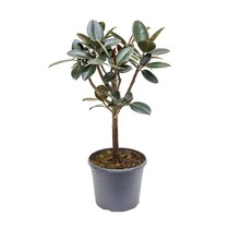 Ficus elastica abidjan op stam