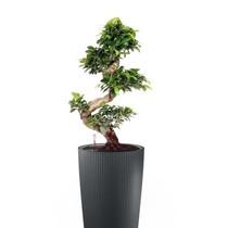 Lechuza Ficus Bonsai in Zelfwatergevende pot Grijs