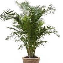 Goudpalm Areca in Rattan Pot