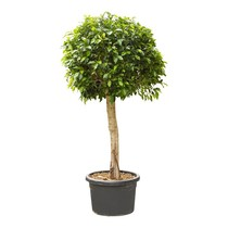 Ficus nitida M KingSize