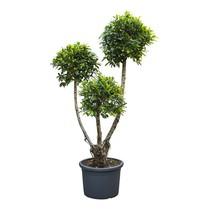 Ficus nitida S KingSize