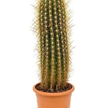Cactus Trichocereus KingSize