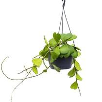 Hoya kerrii Hangplant