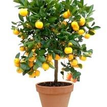 Appelsienboom Medium kopen in Terra Cotta