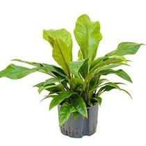 Hydroplant Anthurium Jungle Bush Large