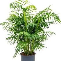 Hydroplant Chamaedorea Elegans Large