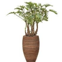 Philodendron Xanadu in Honey pot