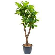 Ficus Lyrata Vertakt XL