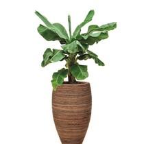 Bananenplant in Honey pot