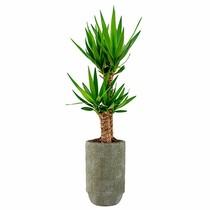Yucca tweetak in Sabine pot