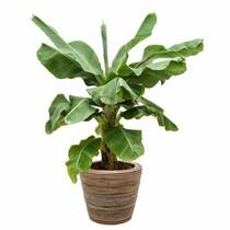 Bananenplant Musa Tropicana in Rattan pot