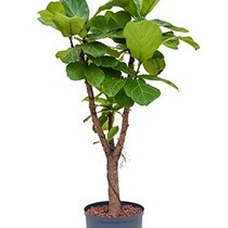 Hydroplant Ficus Lyrata vertakt