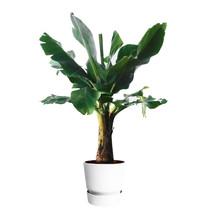 Elho Bananenplant in greenville pot L