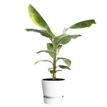 Elho Bananenplant in greenville pot M