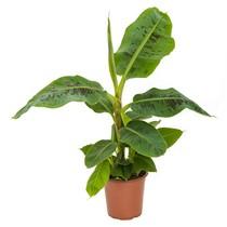 Bananenplant Musa Tropicana XS