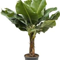 Bananenplant Musa Tropicana XL