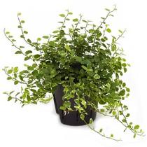 Hydroplant Ficus repens white