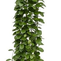 Hydroplant Hoya australis