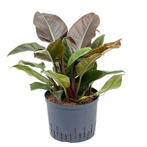 Hydroplant Philodendron imperial red