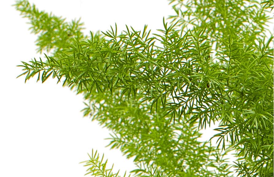 Asparagus Meyerii Fleurdirect