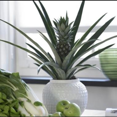 Ananasplant kopen | Topkwaliteit