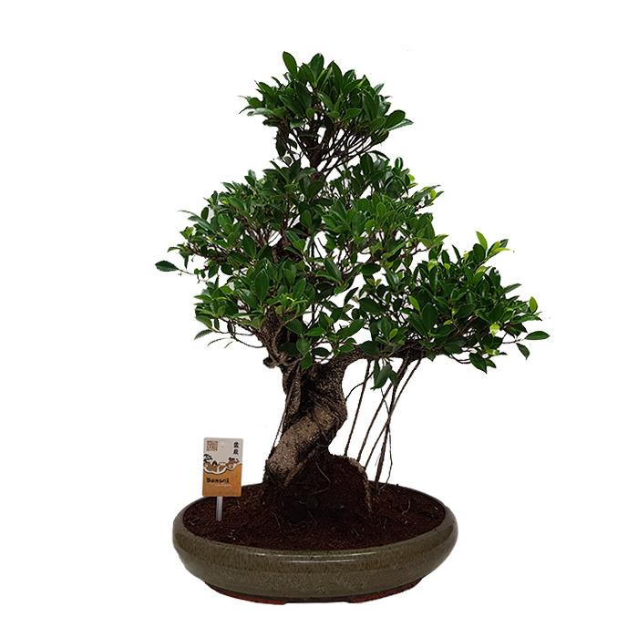 Bonsai Ficus Retusa Fleurdirect