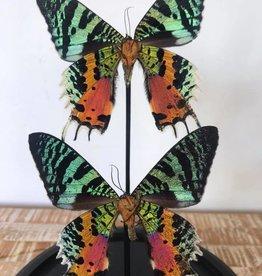 Damn Stolp met echte vlinders