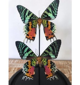 Damn Showcase with real butterflies
