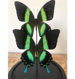 Damn Stolp met echte vlinders - Copy