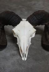 Damn Ram schedel 1