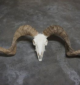 Damn Ram schedel 2