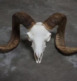 Damn Ram schedel 3