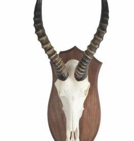 Damn Biesbok schedel