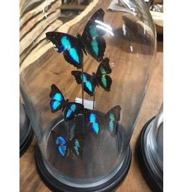 Damn Stolp met echte vlinders ( 5 stuks)